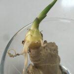 生姜の水栽培に挑戦しました。