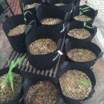 ほとんどの生姜で芽が出てきました。