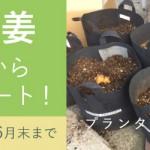 生姜の芽出し 生姜栽培