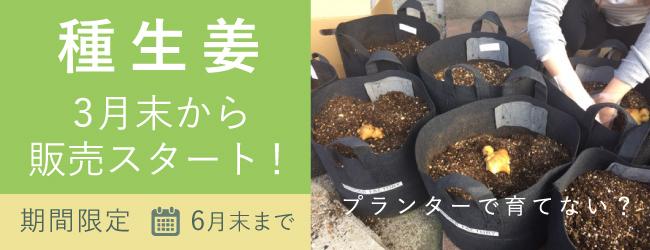生姜の栽培